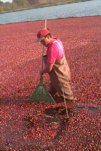 Wet Harvest of Cranberries -cran13ff.htm